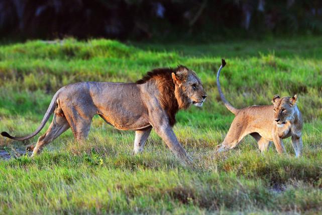 La population des lions décline partout, sauf dans... (AFP, Carl De Souza)