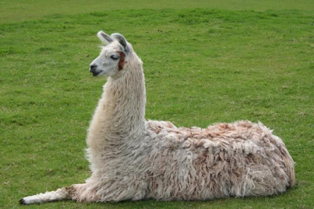 La viande de lama, un camélidé apprécié pour... (PHOTO WIKIPEDIA)