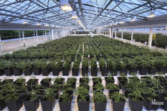 La marijuana «récréative» est maintenant légale dans quatre... (Archives La Presse)