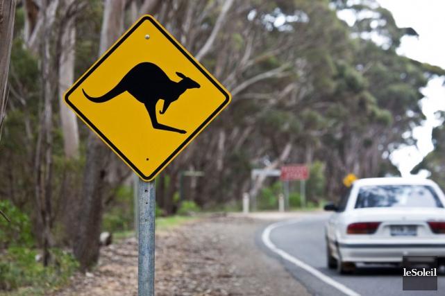 Plus de 20 000 accidents de kangourous sont... (Photothèque Le Soleil)