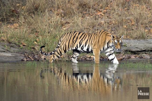 Quand on pense safari, c'est immédiatement l'Afrique et non pas l'Inde qui nous... (PHOTO PATRICE HALLEY, COLLABORATION SPÉCIALE LA PRESSE)