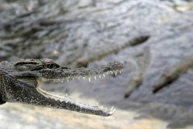 Les crocodiles seraient meilleurs que les gardiens pour... (PHOTO OKA DAUD BARTA, ARCHIVES REUTERS)