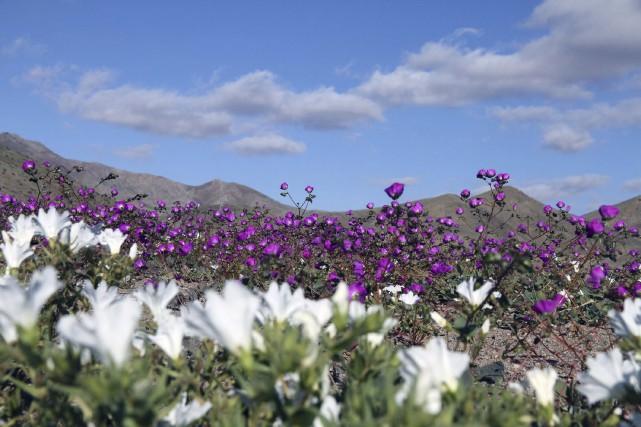 Des fleurs dans la réguin de Huasco, dans... (PHOTO CARLOS AGUILAR, AFP)