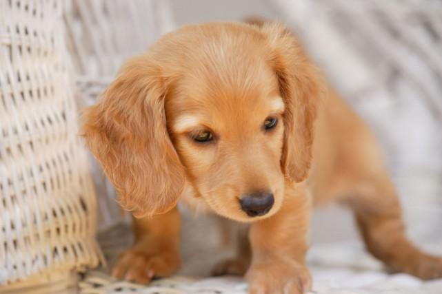 Si votre principale raison d'avoir un chien est pour materner, il se peut que... (Photo 123RF)