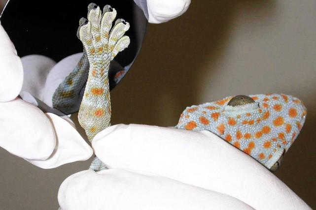 Les geckos sont des lézards qui ont des... (Photo archives AP)