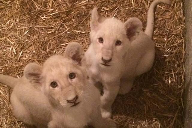 Le Zoo de Saint-Édouard accueille depuis peu de nouveaux pensionnaires. Deux...
