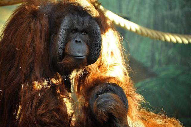 L'existence périlleuse de certains primates est due à... (PHOTO F.G. GRANGIN / MNHN, ARCHIVES AFP)
