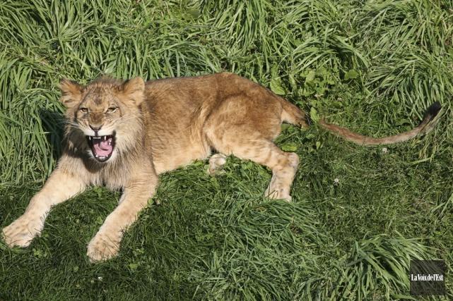 Il a fallu deux ans au lion Boomer,... (photo archives La Voix de l'Est)