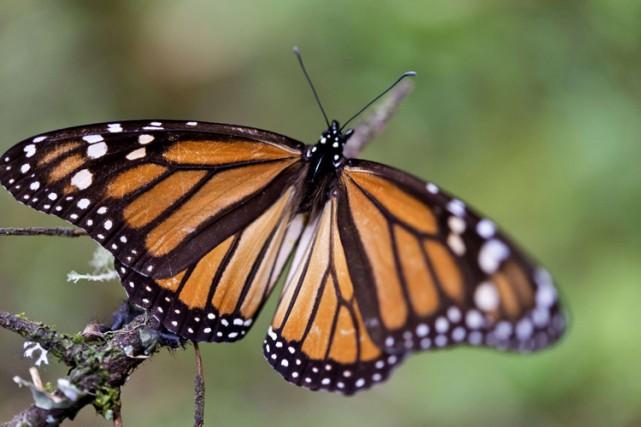 De nombreux insectes comme les papillons ou les guêpes sont d'importants... (PHOTO AFP)