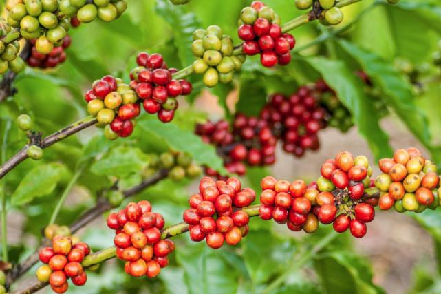 Les caféiers poussent en Afrique, en Amérique centrale...