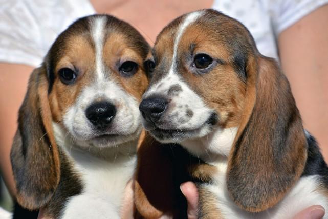 Les chiots sont un mélange de beagle, de... (AP)