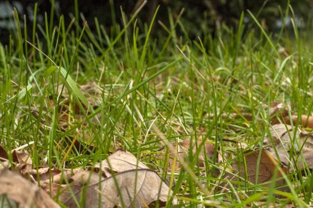 Du gazon encore bien vert en décembre ?... (Photo Le Progrès-Dimanche, Michel Tremblay)