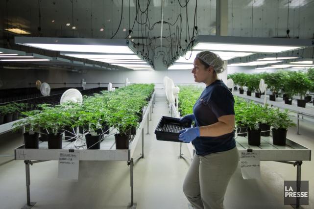 Des plants de marijuana poussent dans une ancienne... (PHOTO SIMON GIROUX, ARCHIVES LA PRESSE)