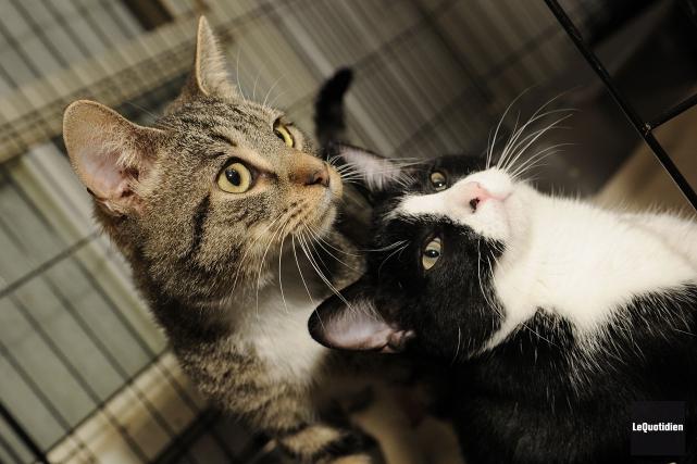 Pas moins de 180 chats, âgés de plus de six mois, sont offerts à «de bonnes... (Archives Le Quotidien)