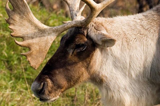 Les rennes du père Noël habitent à l'Écomuseum... (Photo tirée du site de l'Écomuseum)