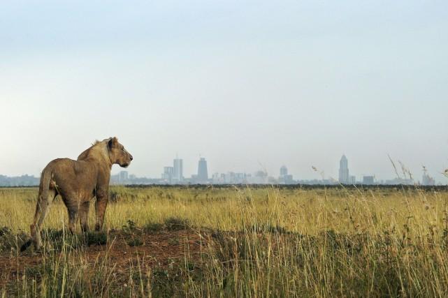 Il ne reste plus que 20000 lions de... (PHOTO TONY KARUMBA, ARCHIVES AFP)