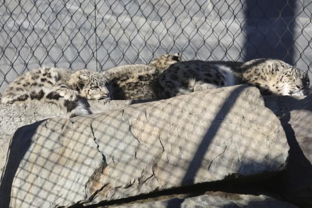 Les bébés léopards des neiges se prélassent au... (photo Julie Catudal)