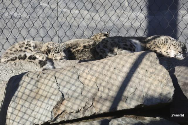 Les bébés léopards des neiges se prélassent au... (Julie Catudal, La Voix de l'Est)