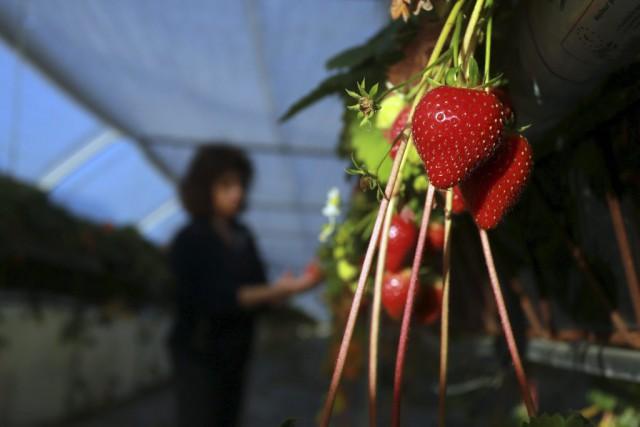 «Voir des fraises à Noël, c'est rare, mais... (AFP / NICOLAS TUCAT)