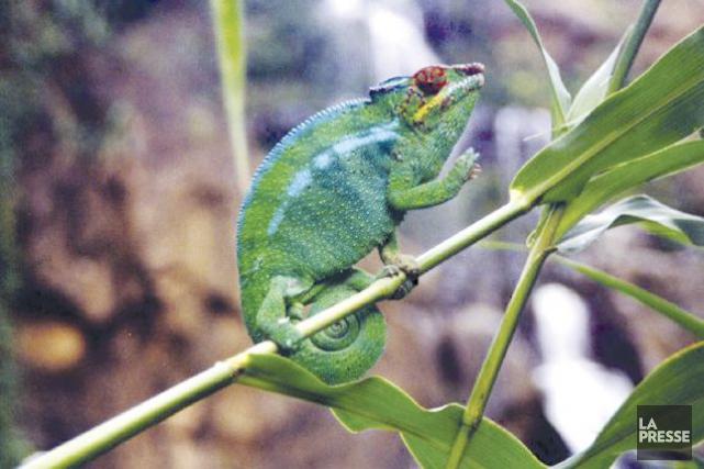 Ces minuscules lézards, connus pour leur capacité à... (PHOTO ARCHIVES LA PRESSE)