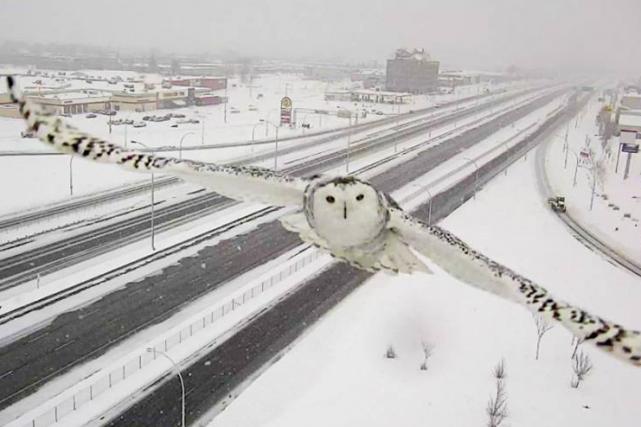 Un harfang des neiges, l'emblème aviaire du Québec.... (MTQ)