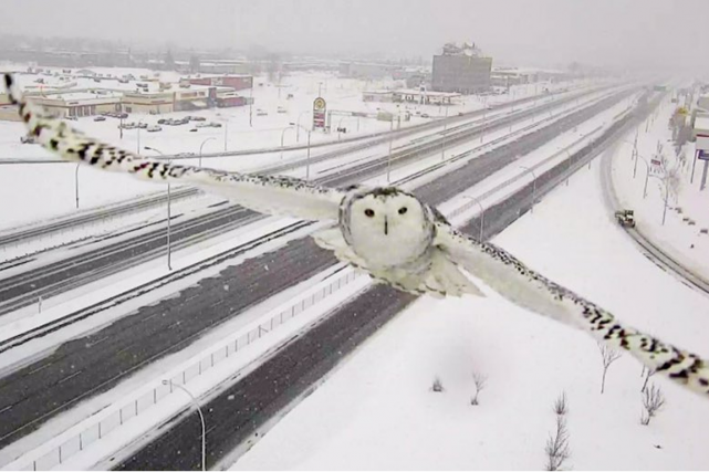 Même s'il est l'emblème aviaire du Québec, le majestueux harfang des neiges... (PHOTO TIRÉE DU PROFIL TWITTER DE ROBERT POËTI)