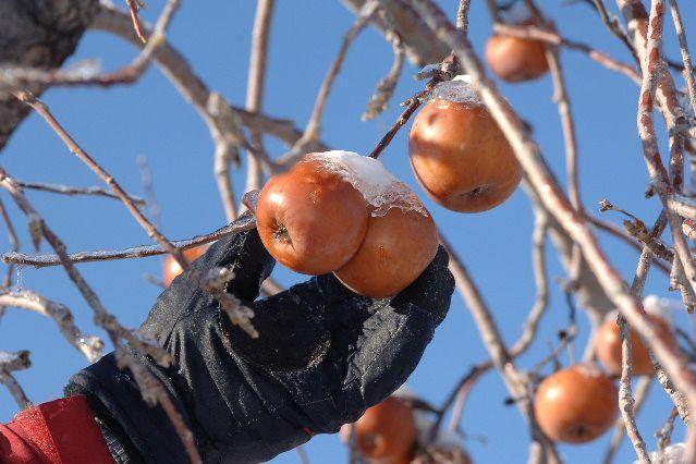 Les pommes gelées des Vergers Lafrance, à Saint-Joseph-du-Lac, sont prêtes à... (PHOTO FOURNIE PAR LES VERGERS LAFRANCE)