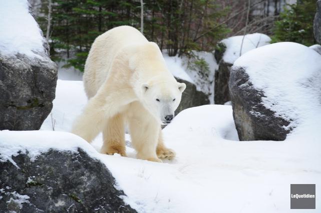 Un ours polaire du Zoo sauvage de Saint-Félicien..... (Archives Le Quotidien)