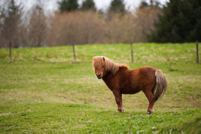 Un poney de race shetland... (PHOTO THINKSTOCK)