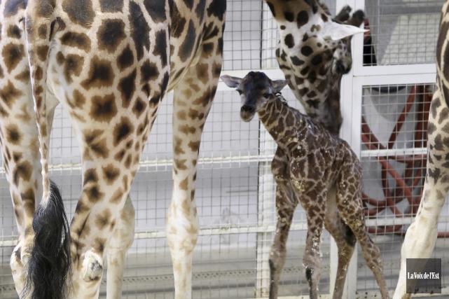 Les gardiens ont nommé le girafeau Kumi, ce... (Christophe Boisseau-Dion, La Voix de l'Est)