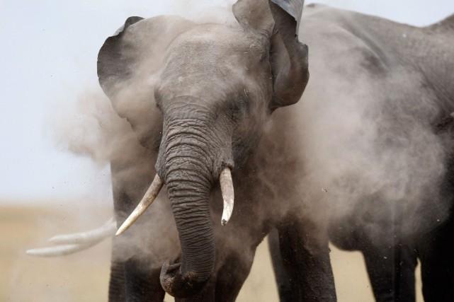 Bien que l'éléphant soit une espèce menacée de... (Photo Thomas Mukoya, archives Reuters)