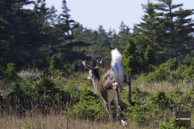 Les chasseurs de chevreuil ont connu une saison... (Archives, La Tribune)