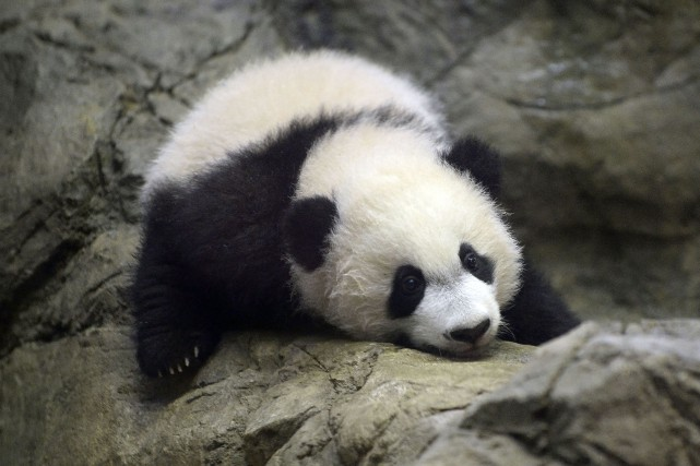 Bei Bei, né le 22août dernier, n'avait jusqu'à... (PHOTO OLIVIER DOULIERY, AGENCE FRANCE-PRESSE)