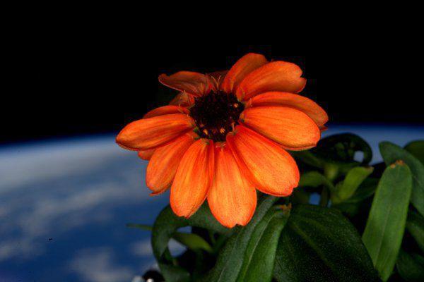 «La première fleur cultivée dans l'espace a fait... (PHOTO TIRÉE DE TWITTER)