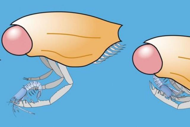 Dollocaris fait partie des Thylacocéphales, un groupe éteint... (PHOTO AGENCE FRANCE-PRESSE)