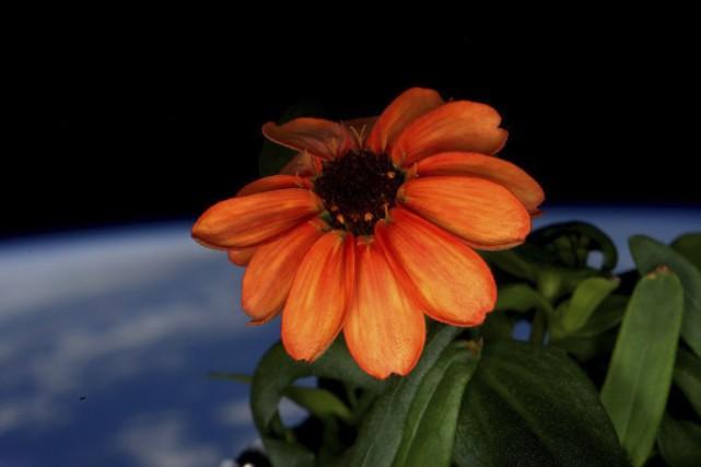 La première fleur de l'espace, photographiée par l'astronaute... (NASA)