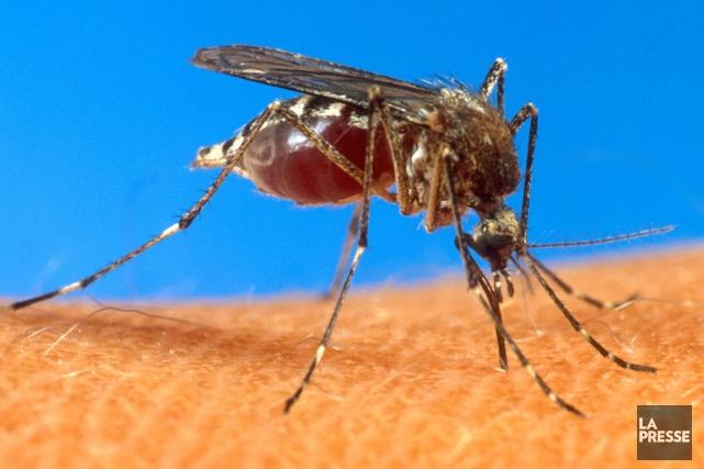 Les moustiques Aedes albopictus et Aedes aegypti sont... (Archives, La Presse)
