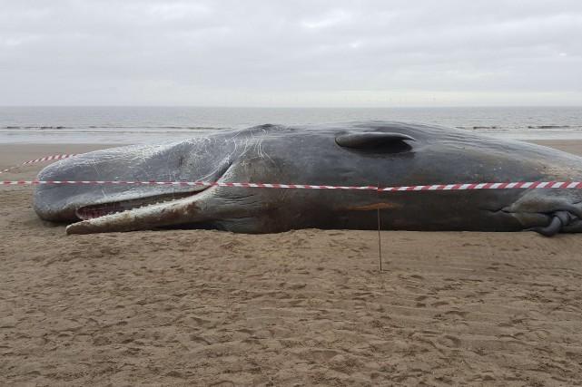 Quatre cachalots se sont échoués sur les plages de la côte nord-est de... (Photo AFP)