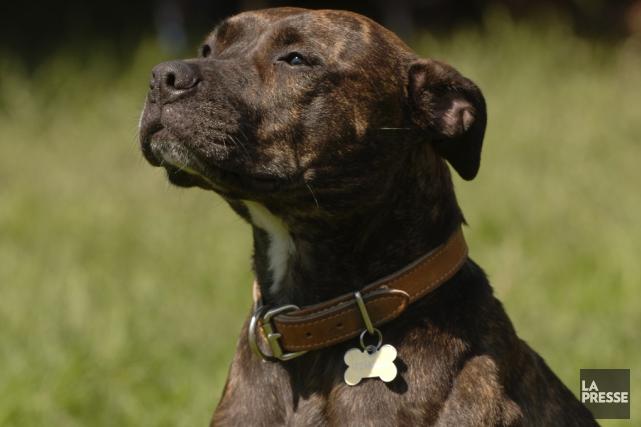 OPINIONS / Selon le frère de la victime d'un pitbull mercredi dernier, 91% des... (Archives La Presse)