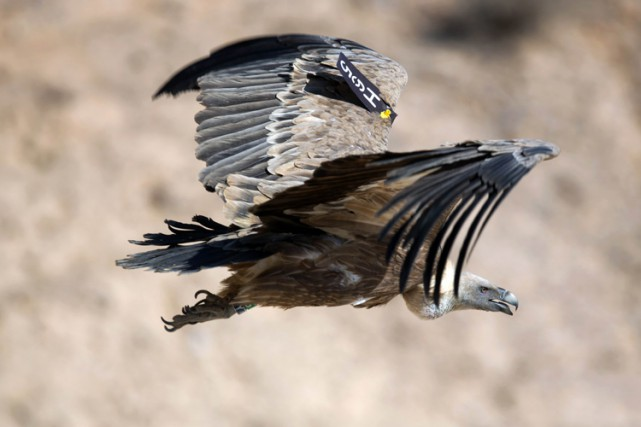 Un vautour étiquetté vole dans le désert du... (ARCHIVES AFP)