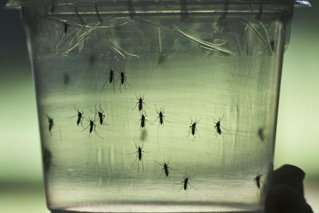 Le virus Zika se transmet par l'intermédiaire d'une... (AFP, Nelson Almeida)