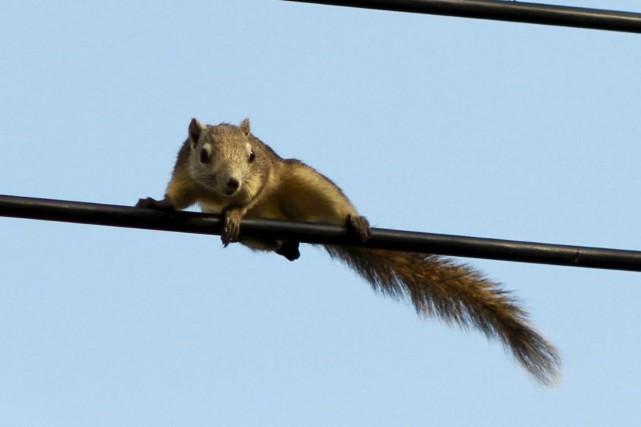 Un écureuil qui s'est électrocuté a plongé un quartier en banlieue d'Halifax... (123RF/ drpnncpp)