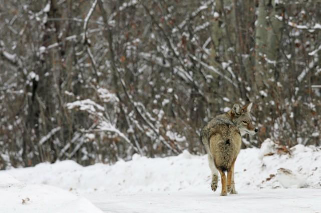 Les coyotes qui se trouvent au Canada sont... (PhotoJordan Verlage,Archives La Presse Canadienne)