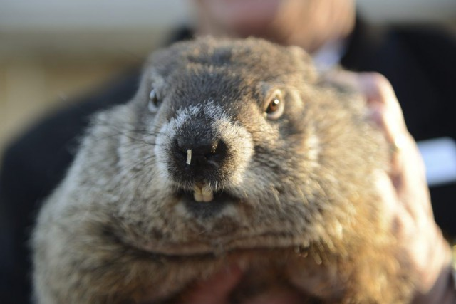 La marmotte la plus connue, Phil de Pennsylvanie,... (PHOTO ALAN FREED, REUTERS)
