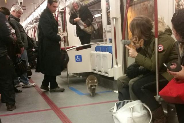 Les usagers du métro de Toronto ont voyagé en compagnie d'un passager plutôt... (Photo La Presse Canadienne)