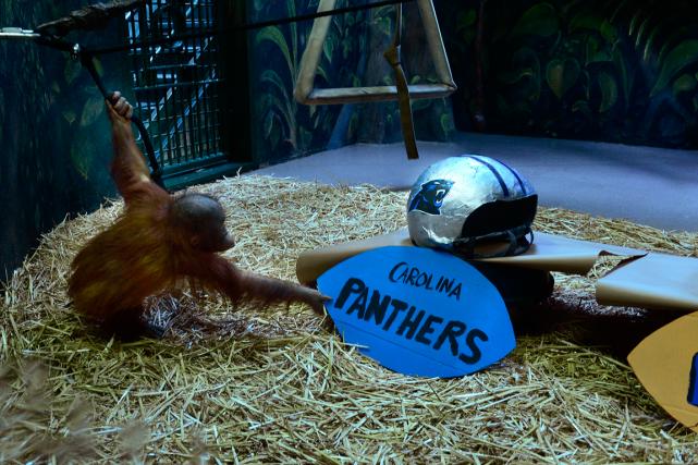 L'orang-outan nommé «Tuah» a mordillé un bout de... (Photo AP)
