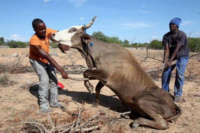 Deux fermiers zimbabwéens tentent de remettre sur ses... (PHOTO PHILIMON BULAWAYO, ARCHIVES REUTERS)