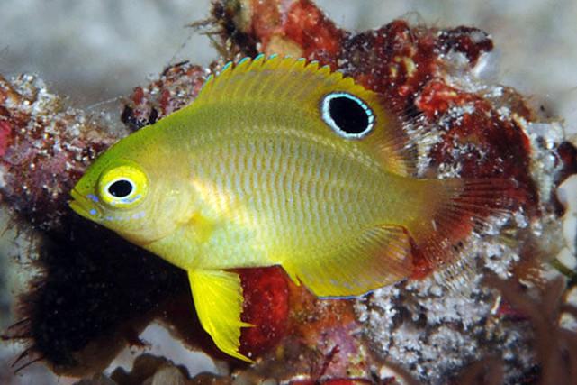 En laboratoire, les poissons-demoiselles (pomacentrus amboinensis) ont utilisé... (PHOTO SALLY POLACK, FISHWISE PROFESSIONAL)