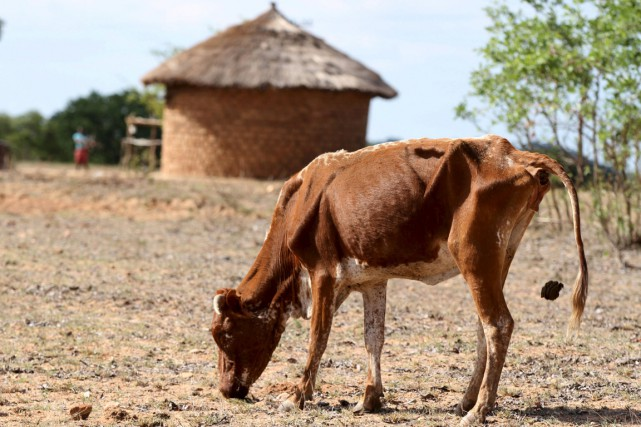 Une vache souffrant de malnutrition tente tant bien... (PHOTO PHILIMON BULAWAYO, ARCHIVES REUTERS)