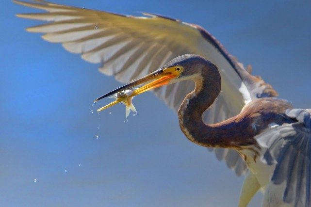 Les poissons capturés par les oiseaux semblent «se... (123RF/Tatiana Thomson)